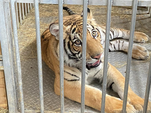 Houston Police dropped the ball when it comes to the Texas tiger