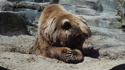 Feds confiscate injured brown bear from closed Michigan roadside zoo