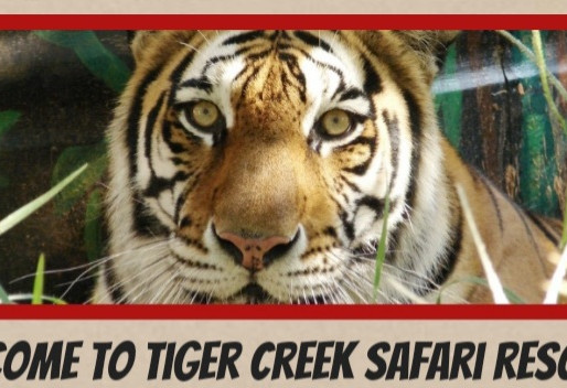 Fake tiger sanctuary loses $166K on Safari scam; continues misappropriating funds 'for the tigers'