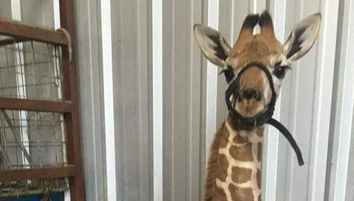 Report: Second giraffe dies at decrepit Texas roadside attraction in less than a year