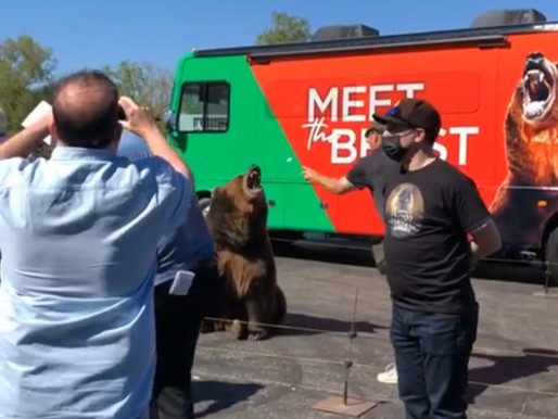 1,000-pound bear exploited by California governor candidate for publicity