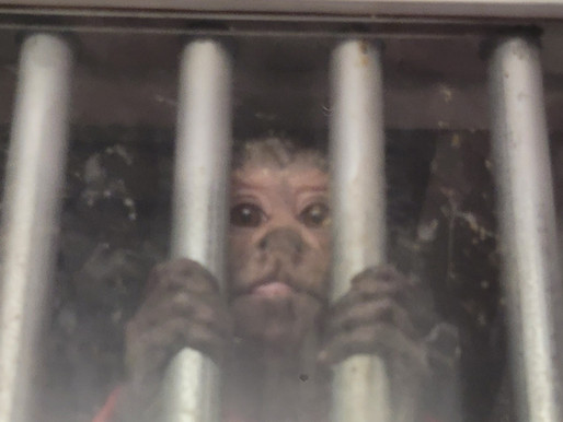 Primate Zoo: A sideshow of suffering at the Manitowoc County Fair