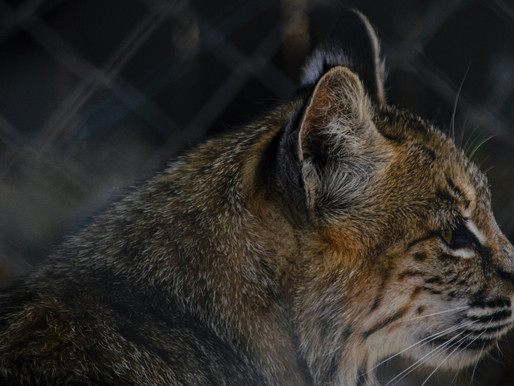 Feds find a bobcat living in feces and filthy tiger pools at Tiger Creek Animal Sanctuary