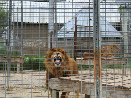 Endangered lion among 22 animals to disappear from WI roadside zoo over winter