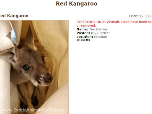 Kangaroo breeder opens pseudo-sanctuary in Missouri