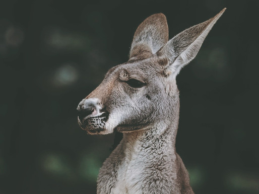 Another kangaroo sighting reported in Wisconsin