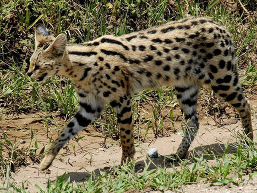 Two African serval wildcats that escaped from 256exotics are on the loose in Alabama