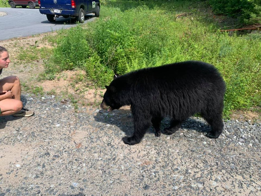 Black bear on the loose after escaping NY pseudo-sanctuary