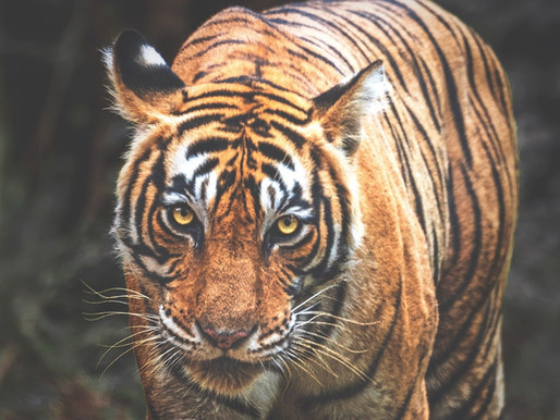 TIGER ATTACK: Tiger Haven Employee's arm nearly bitten off by a tiger