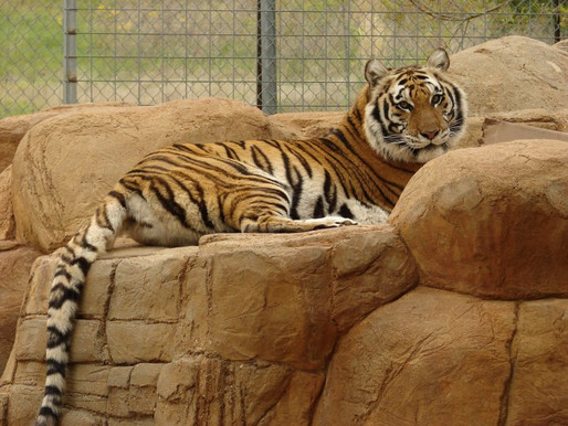 Dying tiger used as photo op at Tiger Creek Sanctuary - Tyler, TX