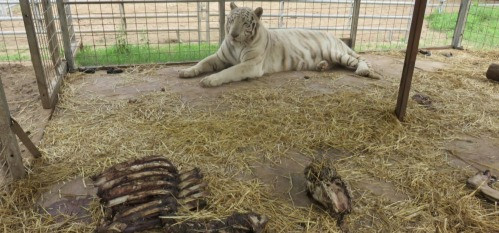 Jeff Lowe puts on a show for Tiger King 2 while 68 big cats are removed from his roadside zoo