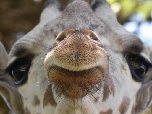 AZA Milwaukee County Zoo plans to send giraffe to New York roadside zoo Animal Adventure Park