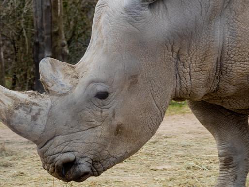 AZA accredited zoo sends white rhino named Maoto to troubled roadside zoo for breeding