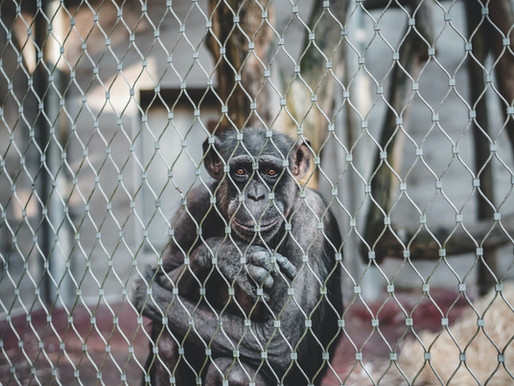 Feds cite two GFAS accredited great ape sanctuaries with Official Warnings
