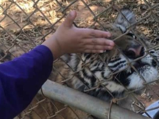 Sitaara update-tiger cub kept in small chain link dog kennel at Tiger Creek Animal Sanctuary