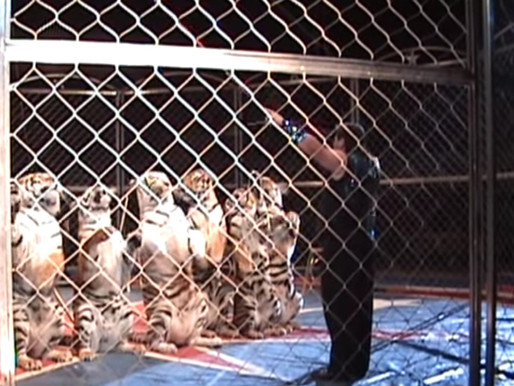 Royal Bengal Tigers cited for keeping tigers in cramped travel cages in a barn