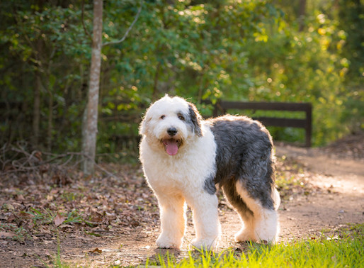 Old English Sheepdog - Tudo sobre o seu Buddie