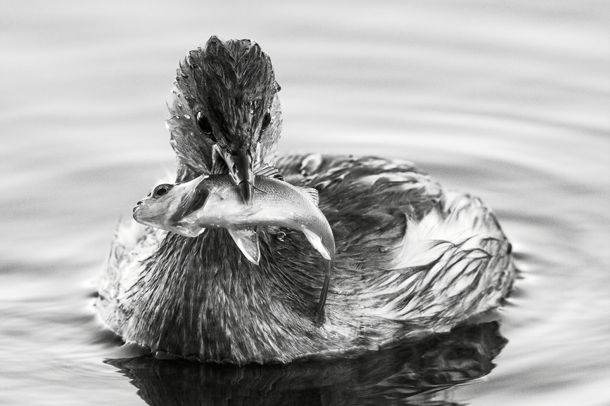 Little Grebe Fishing