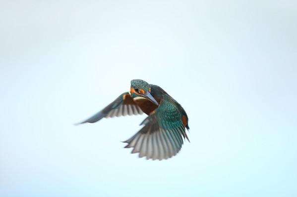 Female Kingfisher Flying