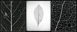 Leaf Triptych