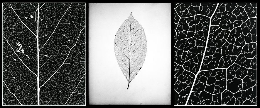 Leaf triptych 10x8 8x10 macro photography