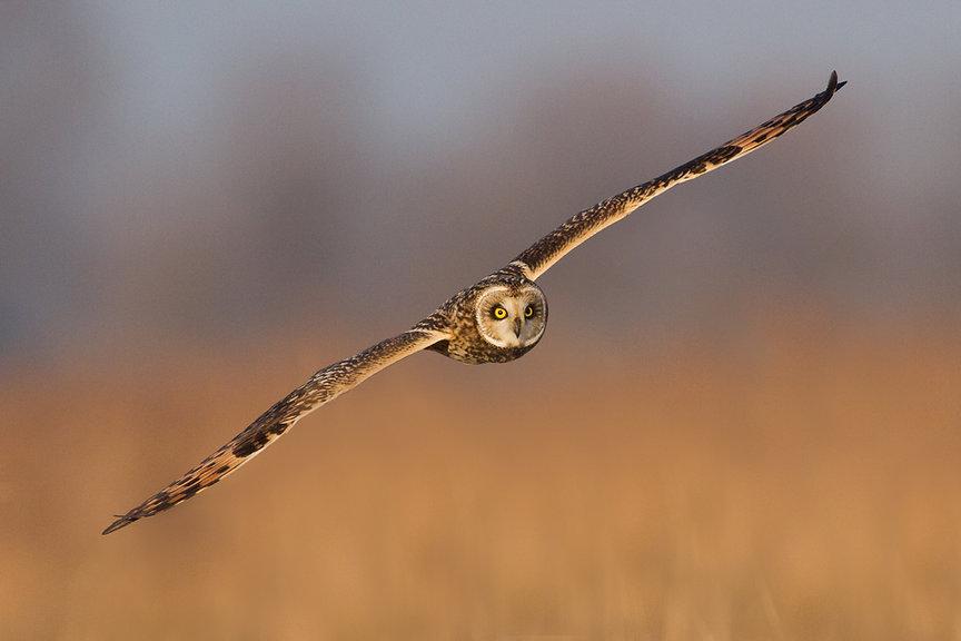 Shot Eared Owl Flying