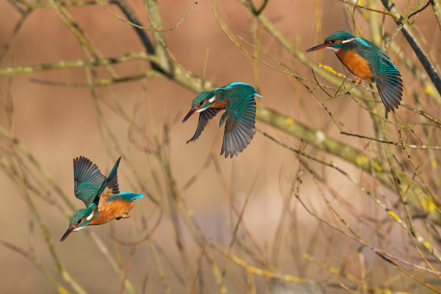 Flight of the Kingfisher