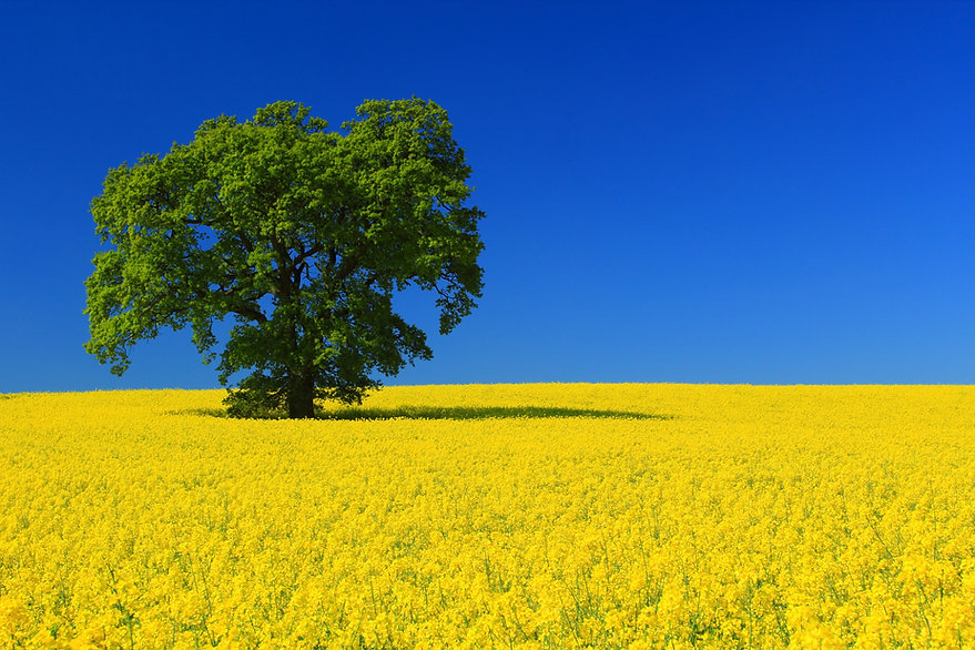 English Spring yellow blue sky tree field