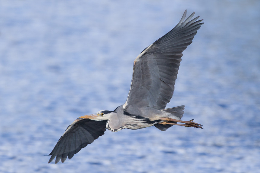 Grey Heron Flying