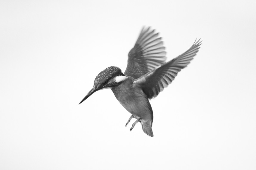 Flying Kingfisher B&W