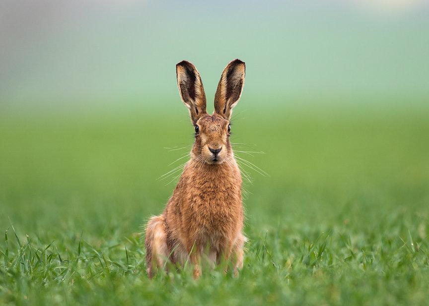 Bunny Ears Rabit Ears Brown Hare