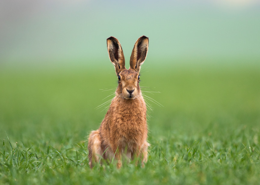 Bunny Ears Rabit Ears Brown Hare