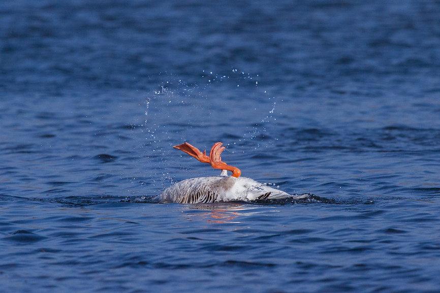 Greylag Goose Splashing