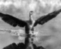 Cormorant wings