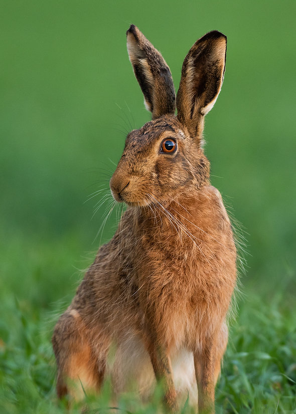 Brown Hare sitting in the grass