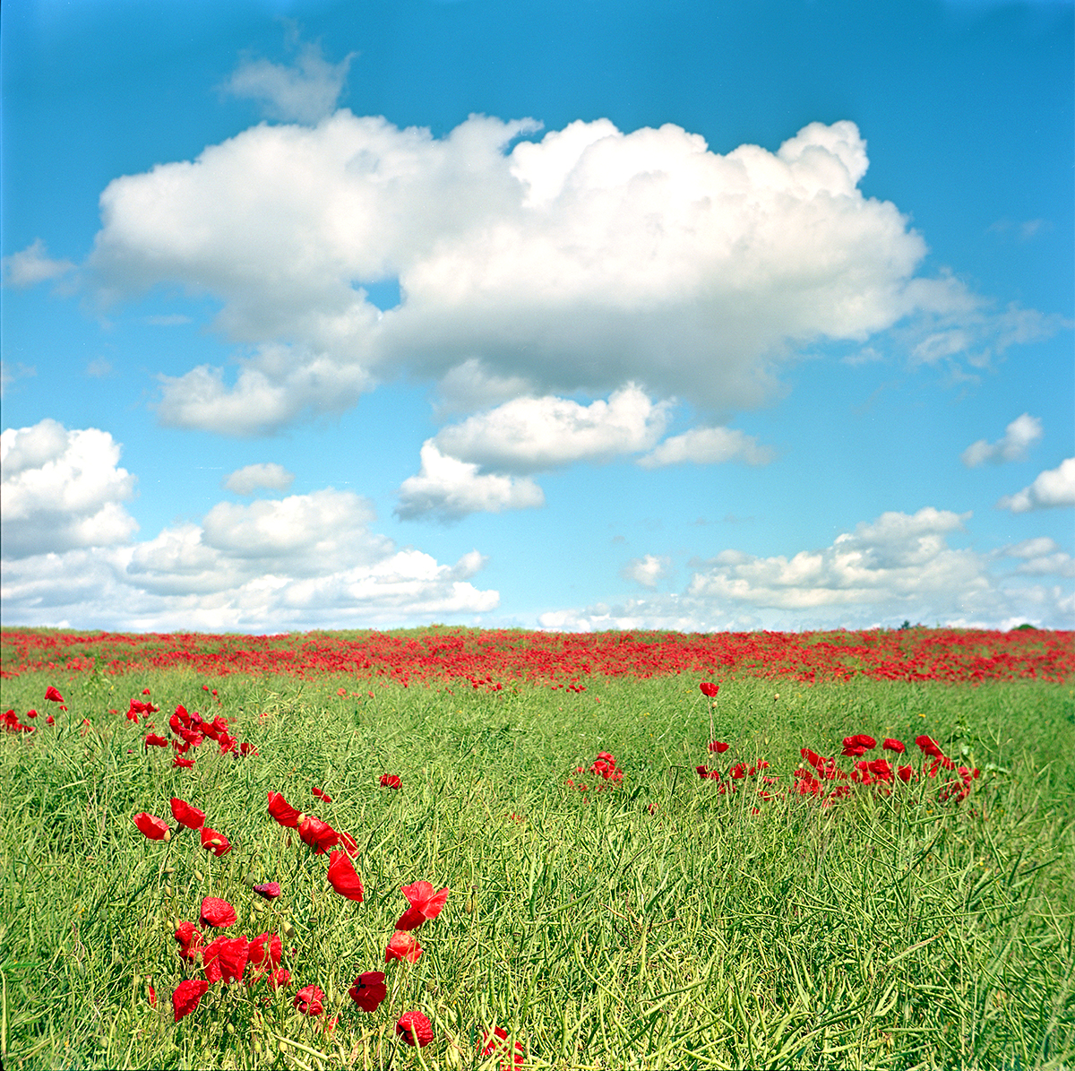 June Poppies