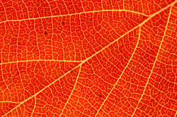 Red Leaf Detail