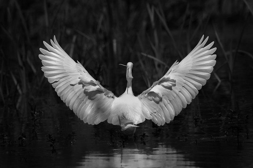 Little Egret Wingspan wings