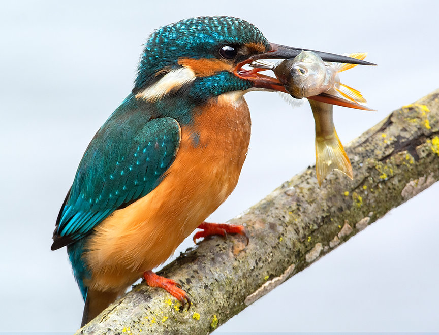 Female Kingfisher with a Perch