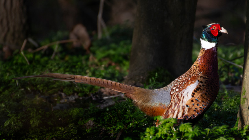 Pheasant in the Forest