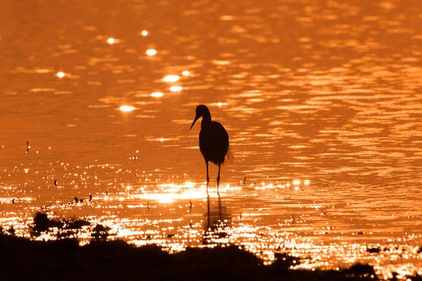 Little Egret Sunset