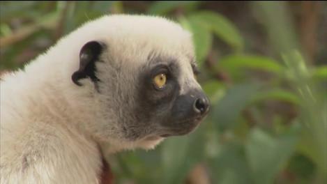 HUMANIMA : les lémuriens de Madagascar