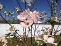 pinkfloweringdogwood.jpg