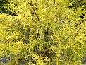cypressgodthread.jpg