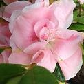 azalea_pink_pearl.jpg