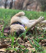 happy rolling dog.jpg