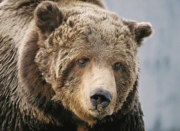 Rain Bear Stands Last - griz.png