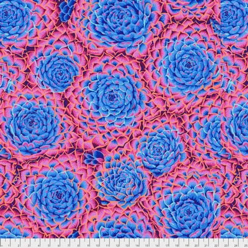 Succulent blauw