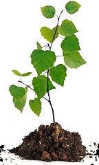 tree seedling.jpg