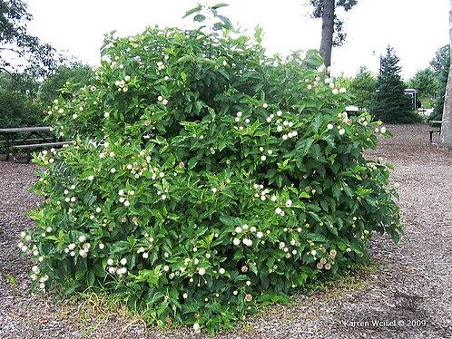 Buttonbush (bundle of 25)
